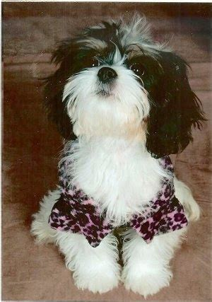 king charles shih tzu cava tzu breed information and pictures