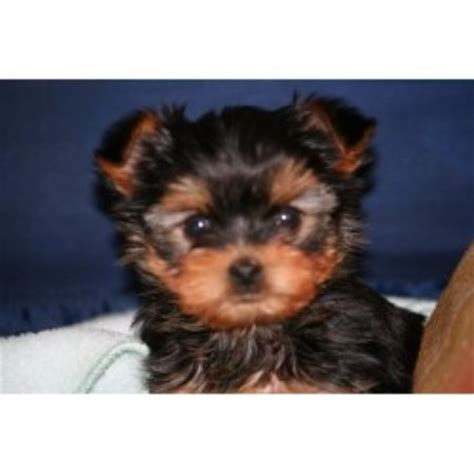 teacup yorkies for sale in va terrier yorkie breeders in virginia freedoglistings
