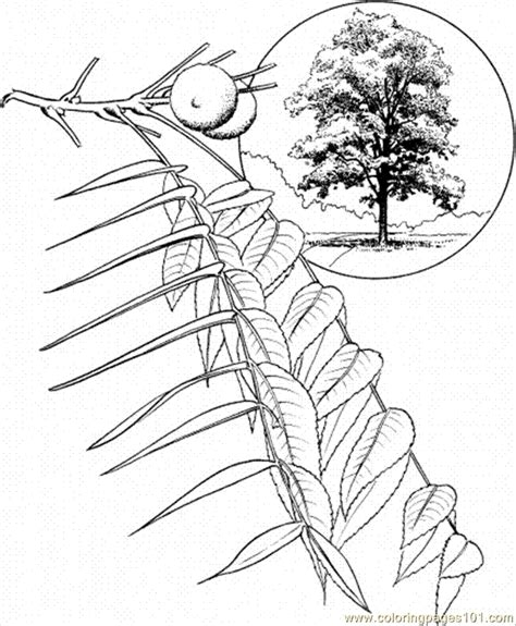 walnut tree coloring page coloring pages walnut tree 1 natural world gt trees