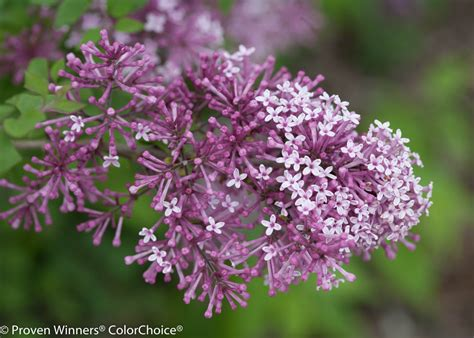 purple lilac bloomerang 174 purple reblooming lilac syringa x proven