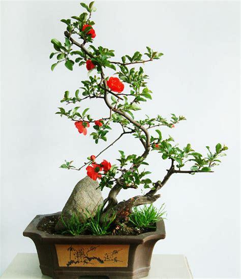 Delima Mini Mini Pomegranate granatapfel baum anlage werbeaktion shop f 252 r werbeaktion