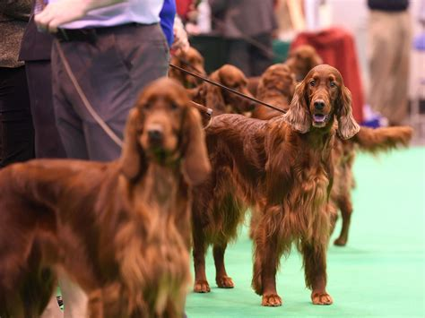 irish setter dies dog show how common are dog show poisonings like the crufts dog