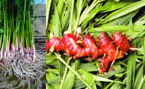 menanam jahe merah  polybag  karung bekas