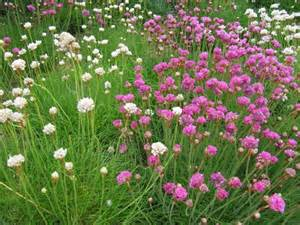 growing sea pink flowers how to take care of thrift plants