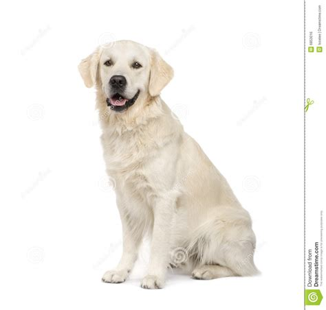 two year golden retriever golden retriever 2 years royalty free stock image image 6853016
