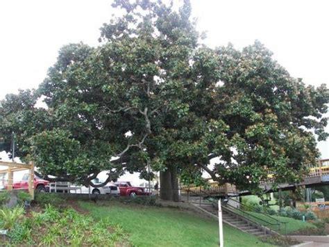 an old magnolia tree in destin picture of destin florida panhandle tripadvisor