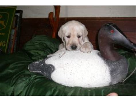 blooded lab puppies for sale in sc labrador retriever puppies for sale