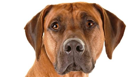 rhodesian puppy rhodesian ridgeback breed information american kennel club