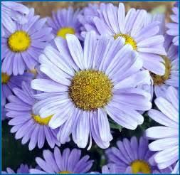 images of flowers flower gerbera flowers pink white silk