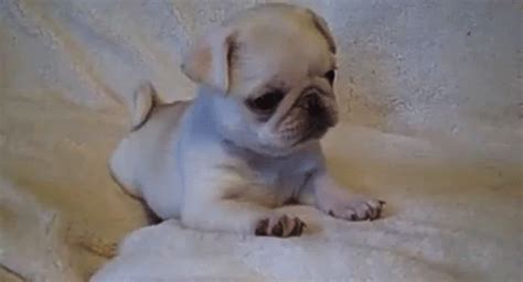 pug gif sweater puppy gifs the knownledge
