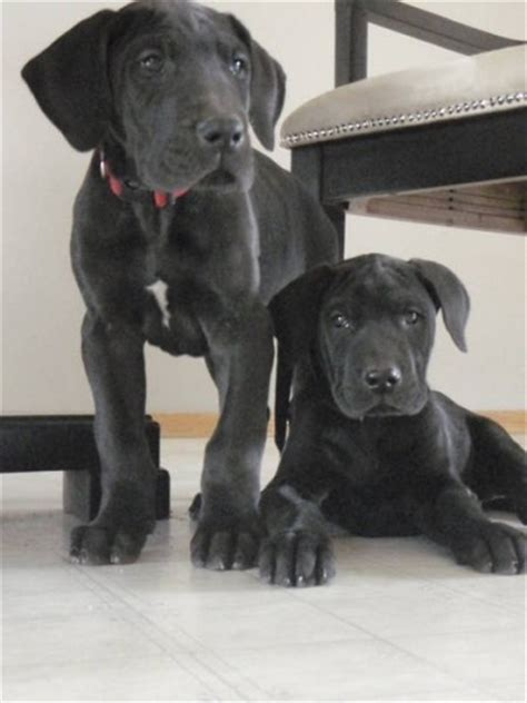 black great dane puppies great dane puppies pictures pets world