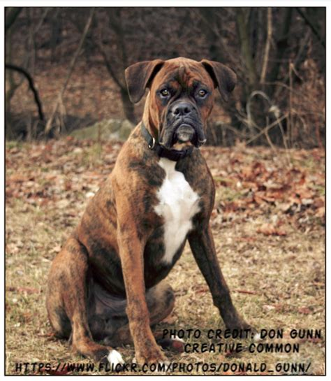brindle boxer brindle boxer boxer info and health tips