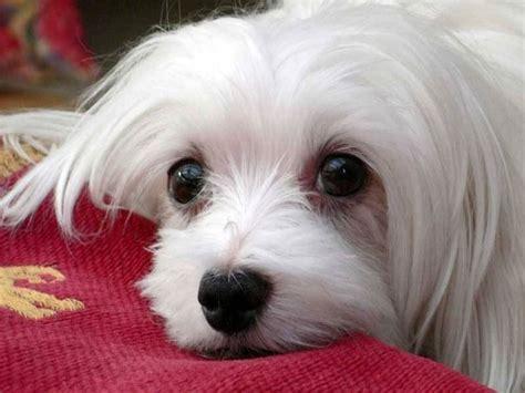 alimentazione cuccioli di cuccioli maltese cani taglia piccola caratteristiche