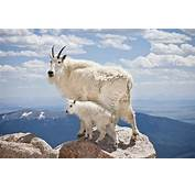 Mountain Goat  Animal Facts And Information