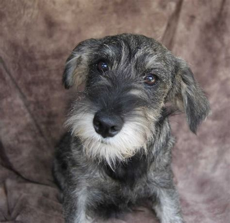 standard schnauzer puppies 17 best ideas about standard schnauzer on black schnauzer schnauzer