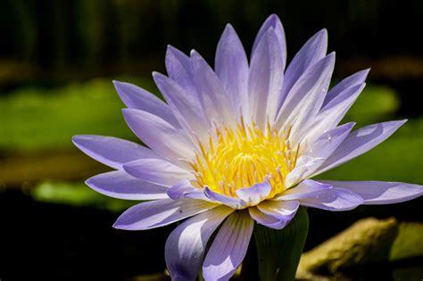 grow water lilies  indoor houseplants