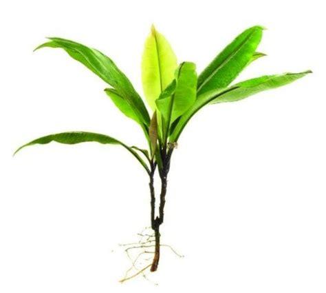 tongkat ali eurycoma longifolia kacip fatimah labisia