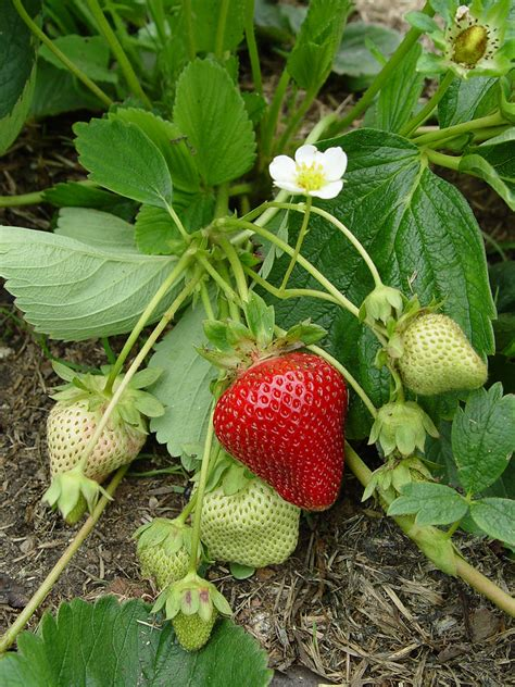 what time of year do you plant fruit trees planting strawberries harvest to table