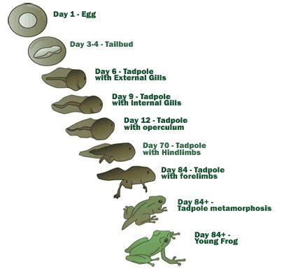 The Life Cycle of a Frog: Process