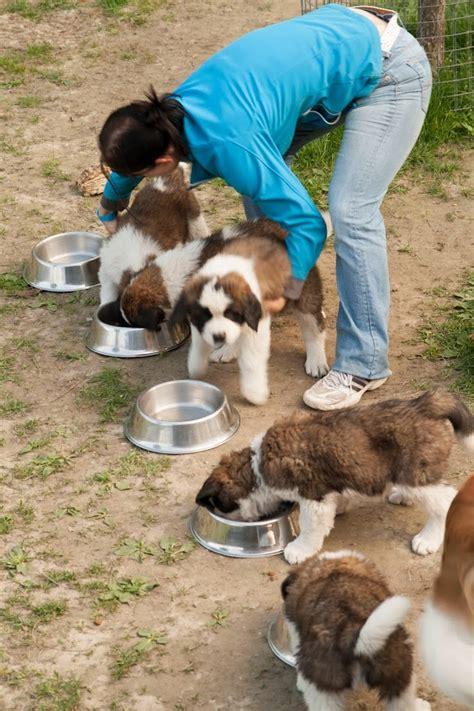 dieta para san bernardo con perros san bernardo en suiza la furgoteta