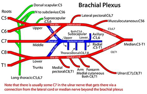 brachial plexus diagram brachial plexus anatomy diagram