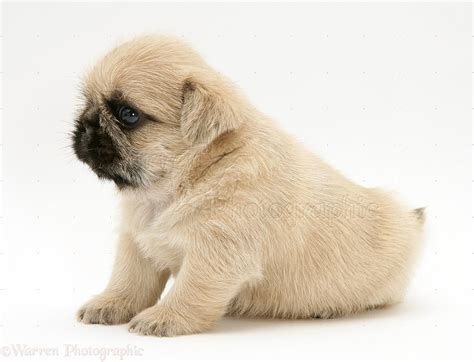 pug x shih tzu pin pug puppies on