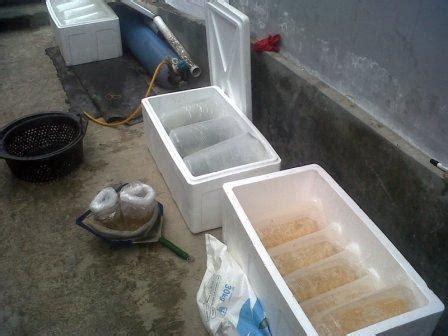 Bibit Ikan Gurame Di Nganjuk telor bibit gurame murah budidaya ikan air tawar