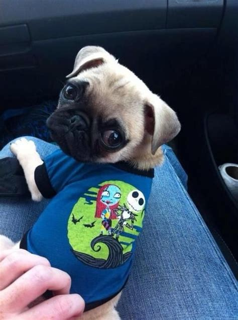 loca the pug died 191 best images about pugs on pug baby and pug dogs