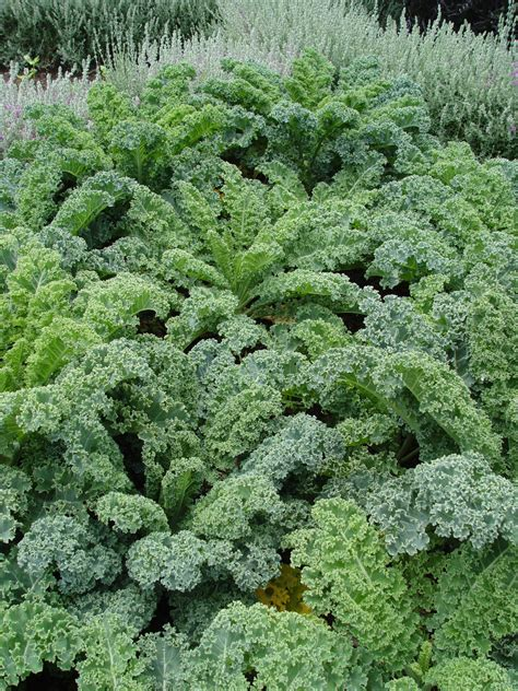 Kale Garden by Black Gold Growing Cabbage Kale Collards Fresh
