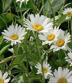 container grown shasta caring  shasta daisy plants