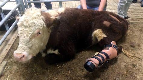 Gentle Barn scvnews gentle barn helps cow receive prosthetic foot 02 27 2015