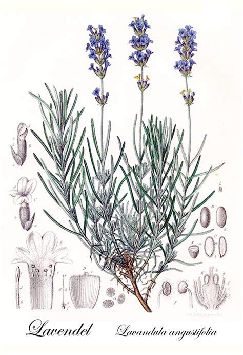 Lavendel Steckbrief lavendel lavandula angustifolia steckbrief