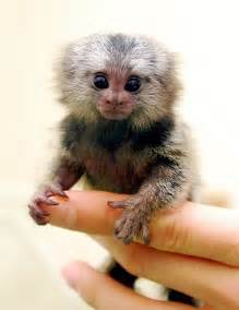 marmoset monkey fun animals wiki videos pictures stories