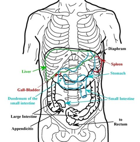 where is my spleen located diagram interpretation of my stones at liver flush support forum