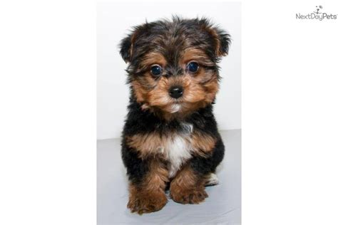yorkie poo wisconsin teacup yorkie poo puppies for sale hairstylegalleries