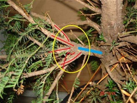 wann eibe schneiden eibe noch ein langer weg www bonsai fachforum de