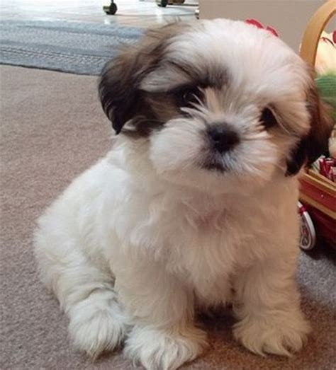 all about shih tzu puppies shih tzu puppy what to expect from shih tzu puppies