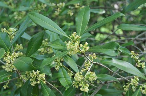 olea fragrans in vaso osmanto osmanthus piante da giardino osmanto olea