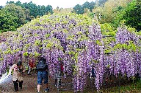 wisteria tunnels tokyo kawachi wisteria tunnels fukuoka japan travel