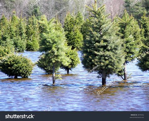 pine meadows christmas tree farm pine tree farm with flooded field stock photo 3079352