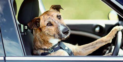 car dogs driving car