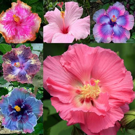 what color is hibiscus 100pcs mix colors hibiscus potted