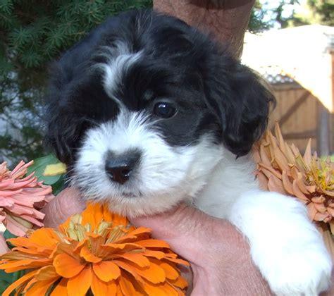 havachon puppies west coast havachons breeder idaho puppies havachon puppies in idaho