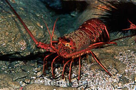 California Spiny Lobster, Panulirus interruptus
