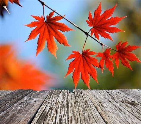 acero giapponese in vaso acero giapponese arbusto elegante da coltivare in vaso