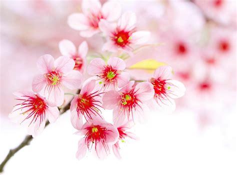 wallpaper bunga yang cantik gambar bunga indah dan cantik kumpulan gambar