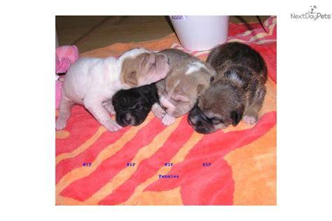 ori pei puppies for sale meet ori pei doll a pug puppy for sale for 425 ori pei doll