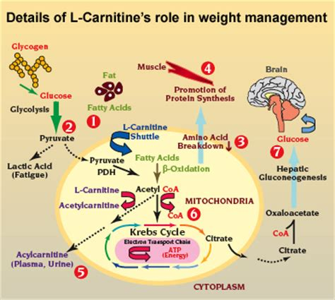 Uses Of L by Carnitine For Loss Insider