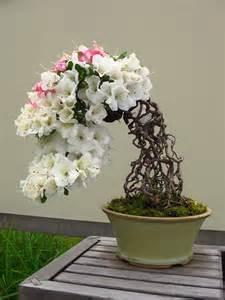 Multi Colored Flowers - magnificent miniatures azalea bonsai in bloom matthaei