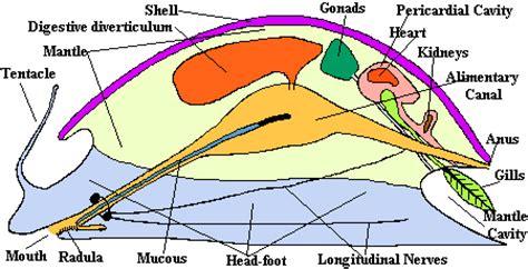 mollusk diagram the molluscs phylum mollusca